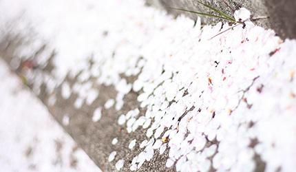 2009_0415hanabira.jpg