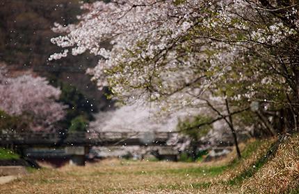 2012_0417sakura2.jpg