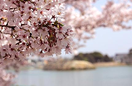 2011_0411sakura2.jpg