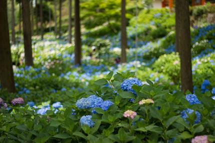 2012_0616ajisai3.jpg
